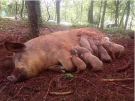 Des cochons heureux !